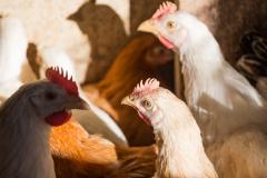 """""""le galline"""""""