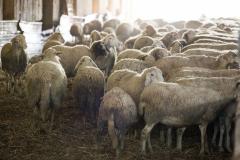 """""""le pecore"""""""